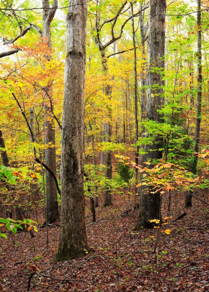 White Oak and Sourwood