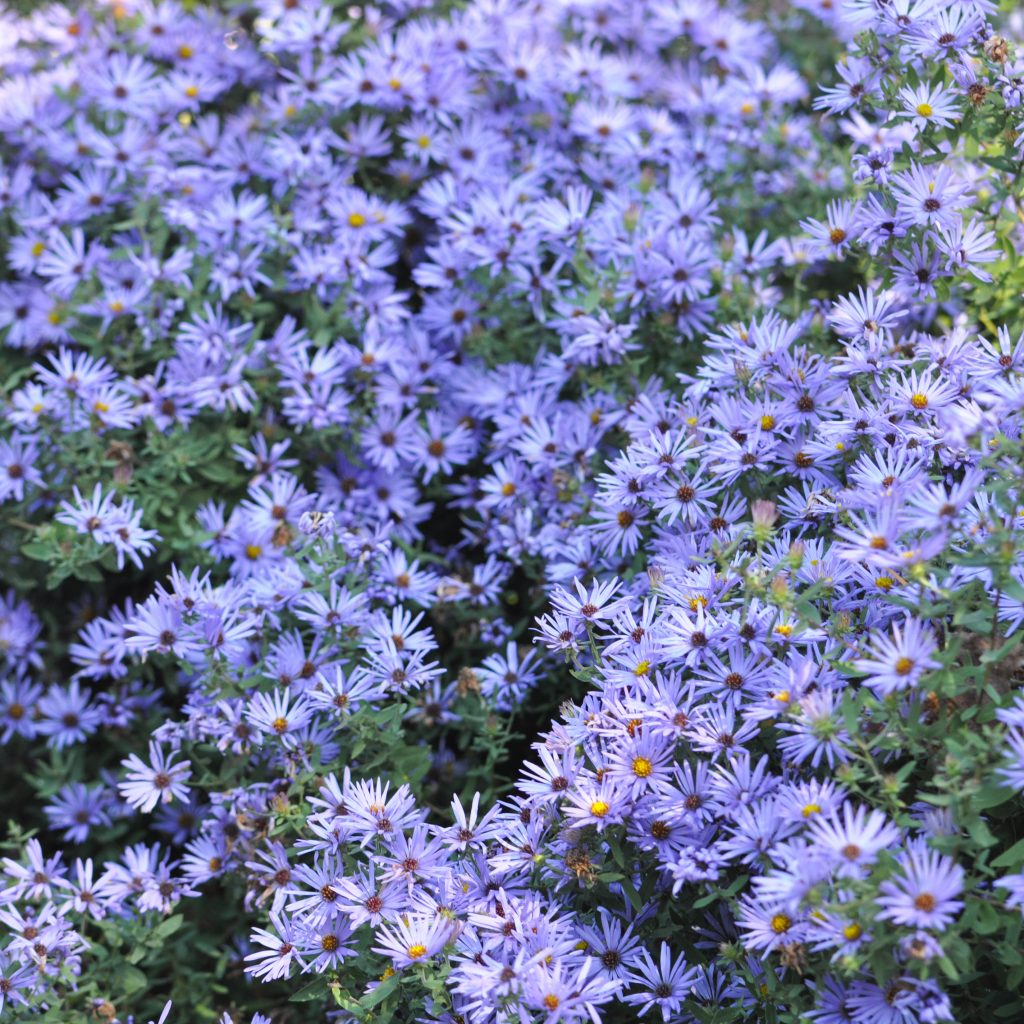 Eastern aromatic aster