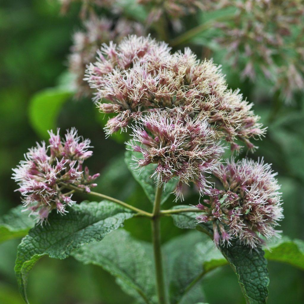 Hollow-stem Joe-Pye-weed