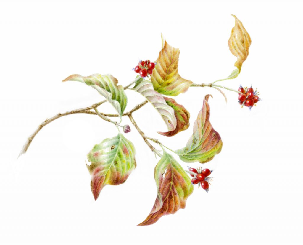 botanical illustration of dogwood leaves and fruit