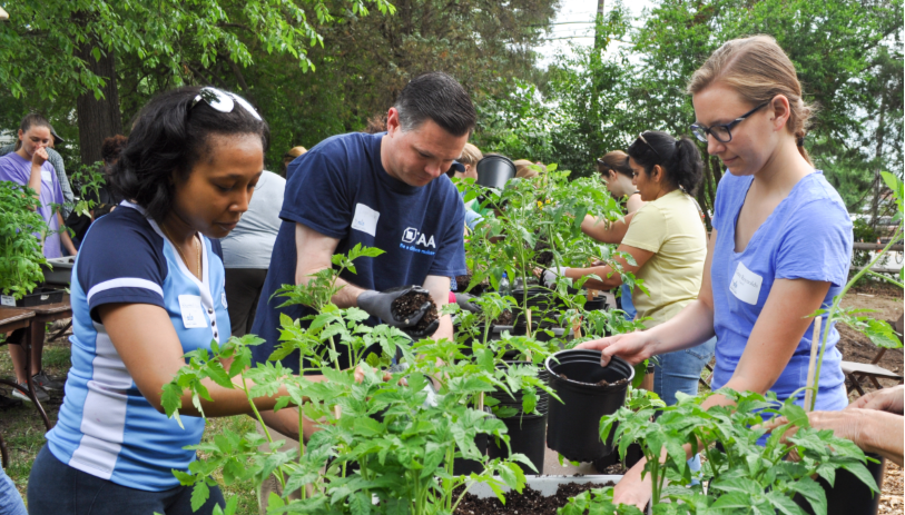 people planting tomatoes