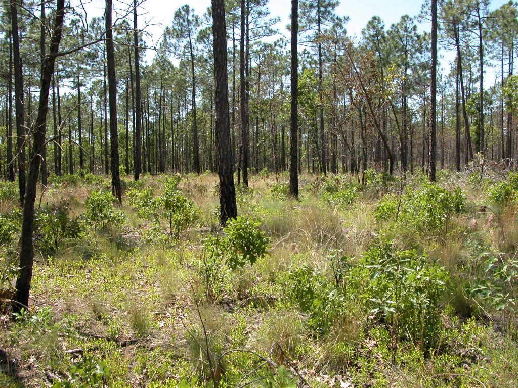 Open pine flatwoods of Gordon Butler Nature Preserve