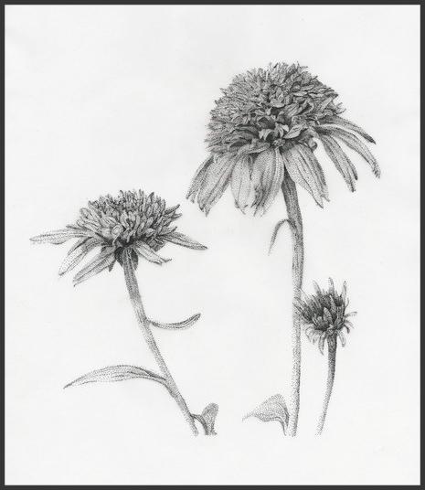 Black and white illustration of Echinacea