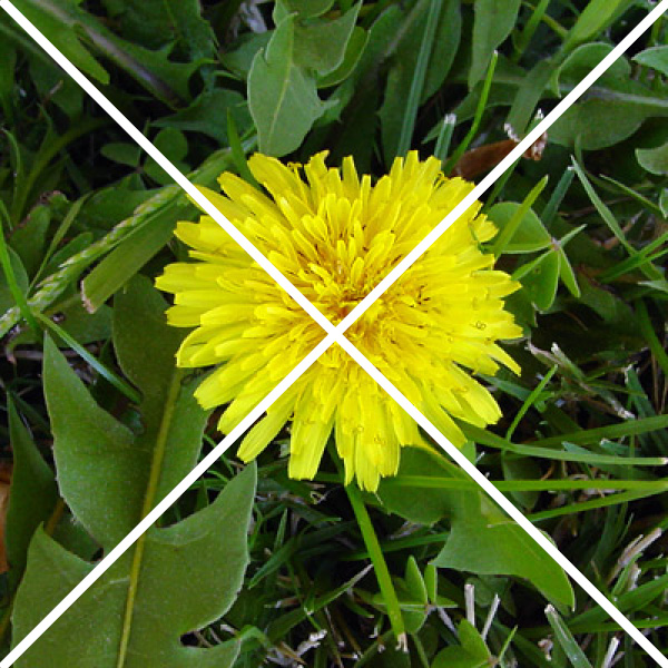 common dandelion with an x through it