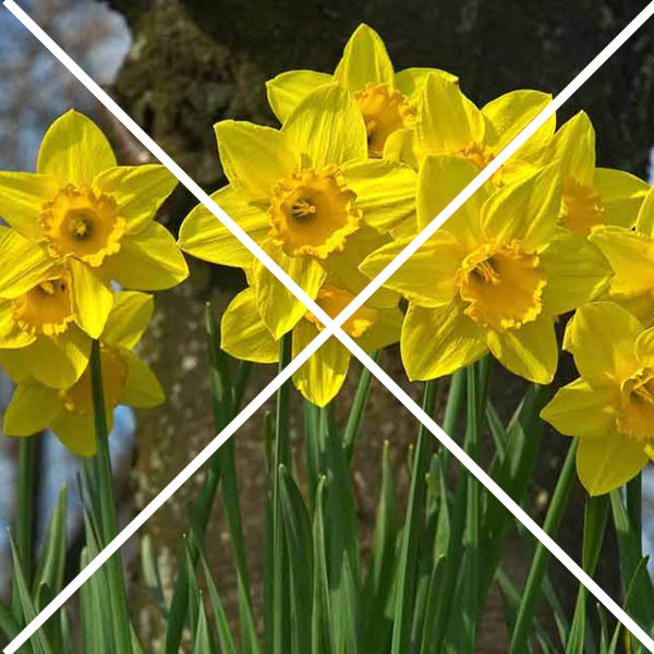 daffodils with an x through them