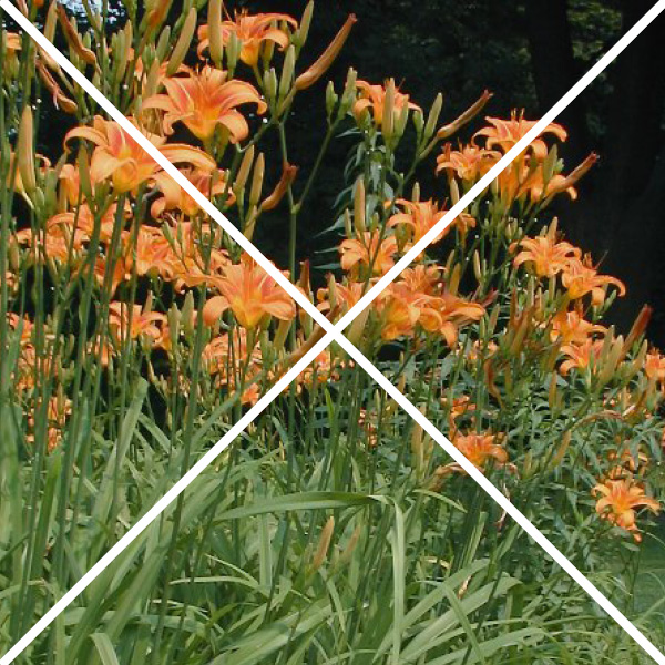 daylilies with an x through them