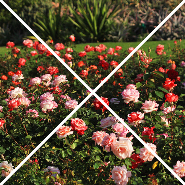 garden roses with an x through them