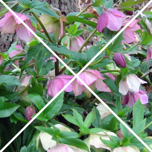 Lenten roses with an x through them