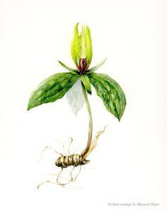 Botanical illustration of Trillium oostingii