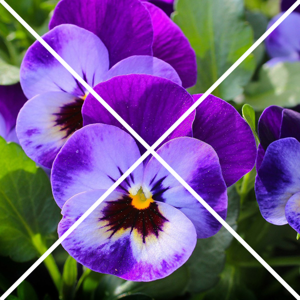 pansies with an x through them