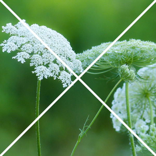 Queen Anne's lace with an x through it