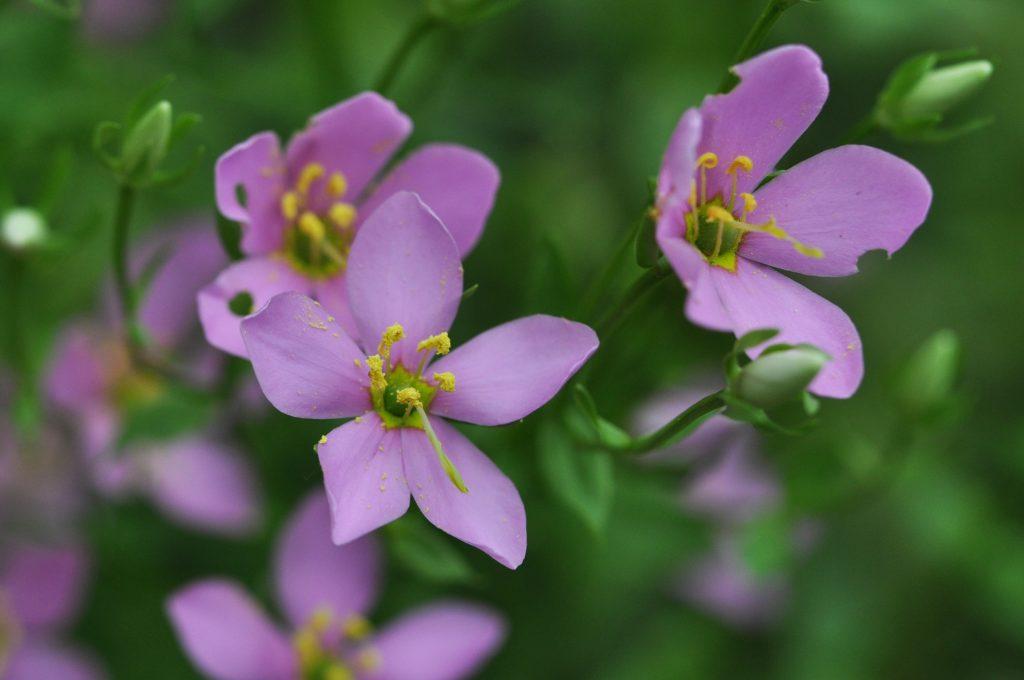 marsh-pink, 2020 NC Wildflower of the Year
