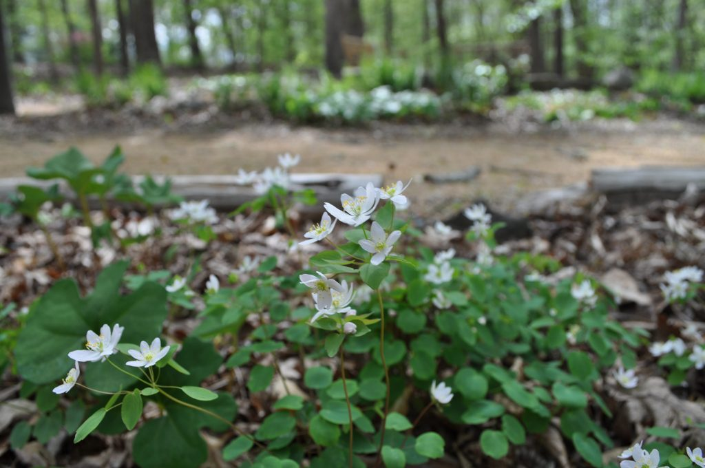 Windflowers (Thalictrum thalictroides) blooming in Battle Park
