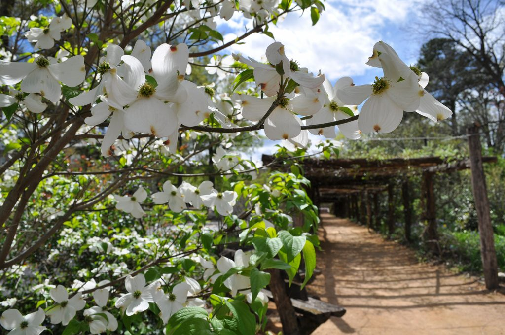 A dogwood blooms in front of the arbor in spring