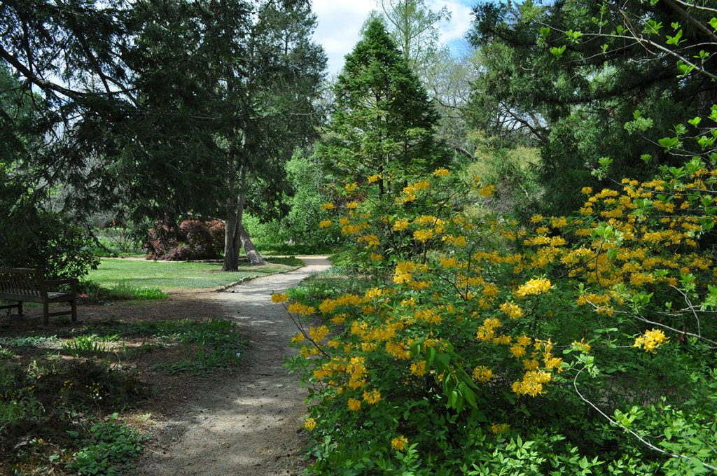An orange azalea blooms by a path lined with evergreens in spring