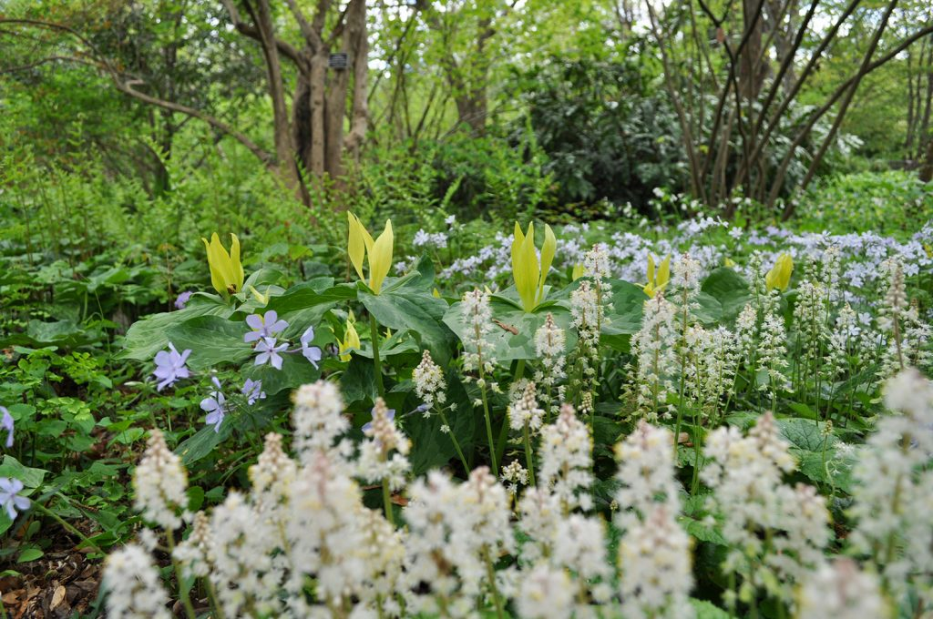 White foamflowers, yellow trilliums, and blue phlox in springtime.