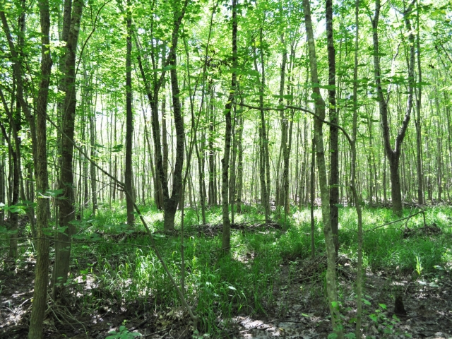 Low, bottomland forest at Mason Farm.