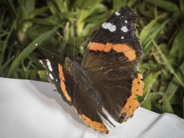 Red admiral butterfly at Mason Farm.