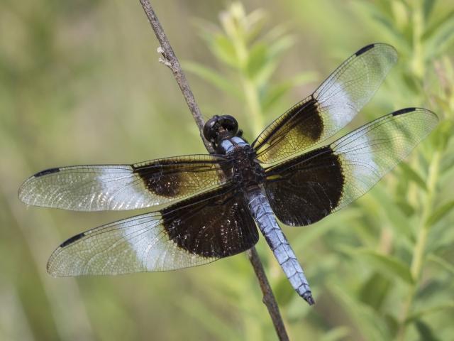 Widow skimmer dragonfly at Mason Farm.