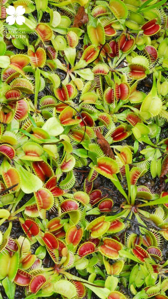 Venus flytrap mobile background