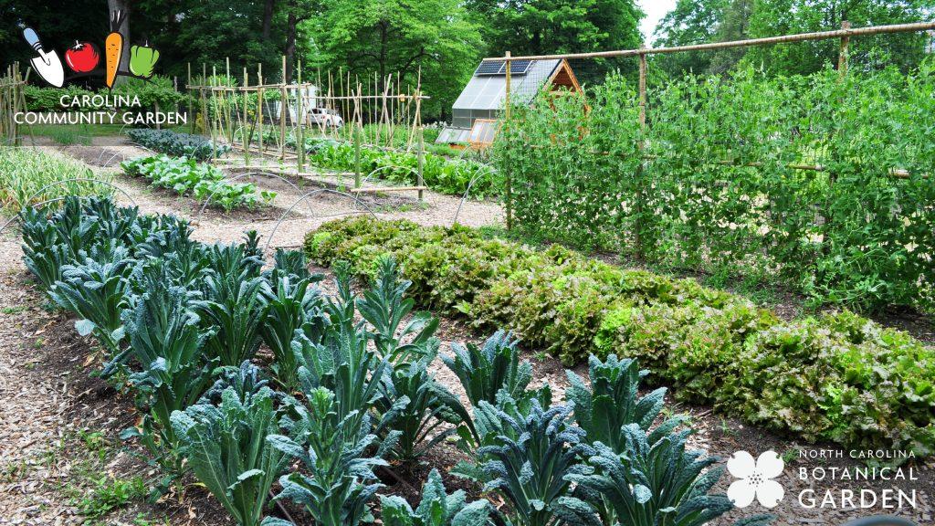 Vegetables growing in the Carolina Community Garden desktop or Zoom background