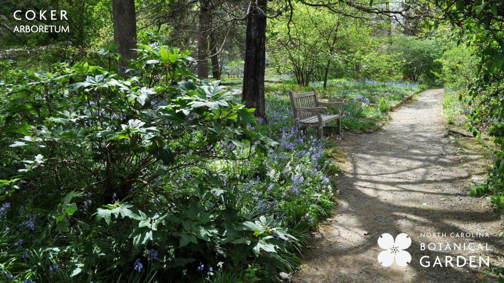 Coker Arboretum path in spring desktop or Zoom background