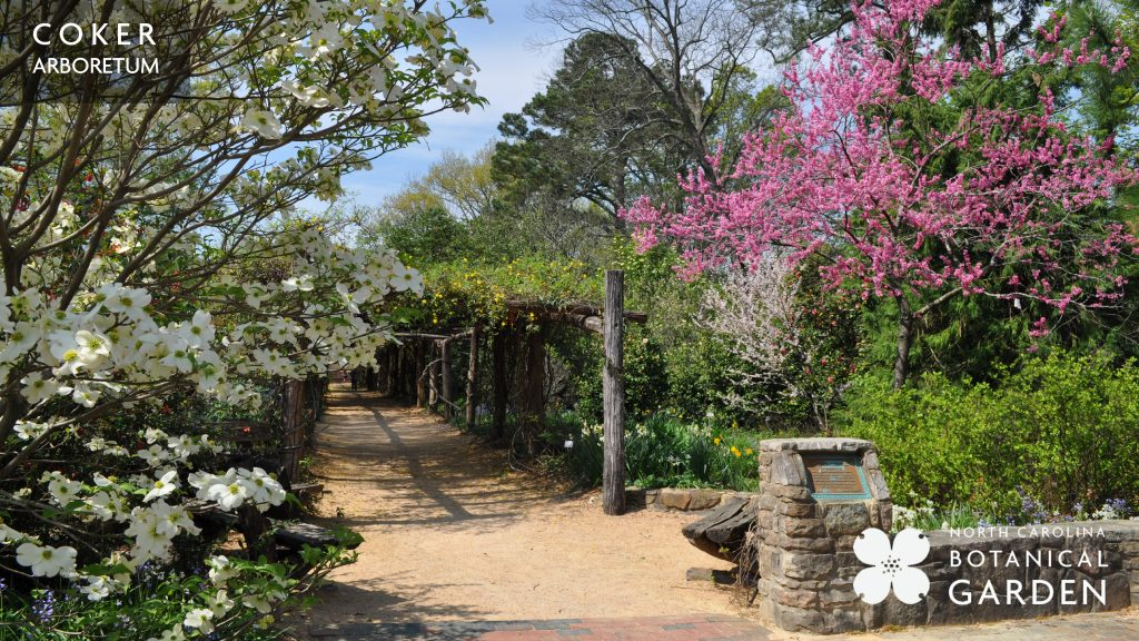 Coker Arboretum dogwood and redbud desktop or Zoom background