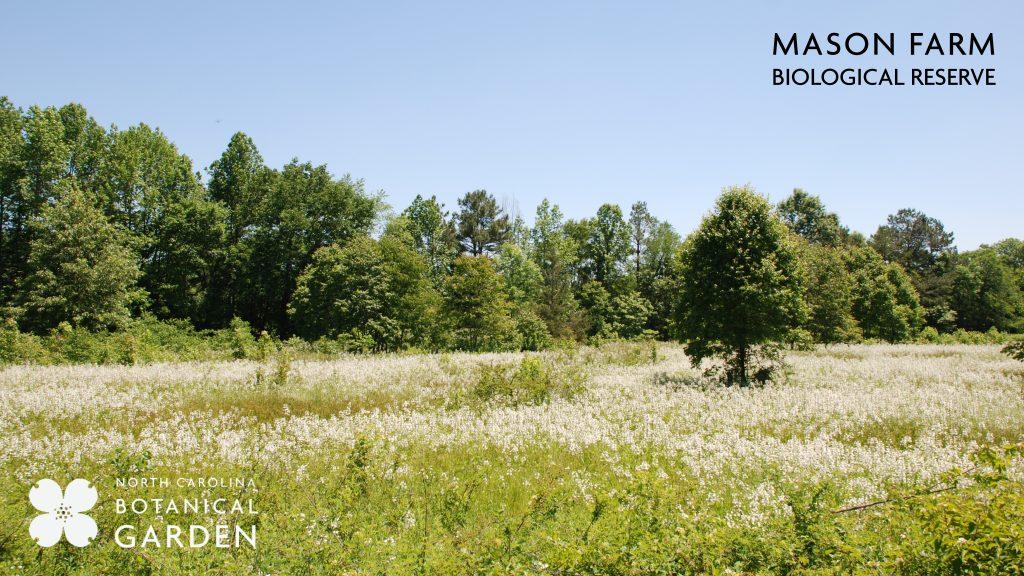 Mason Farm field of wildflowers desktop or Zoom background