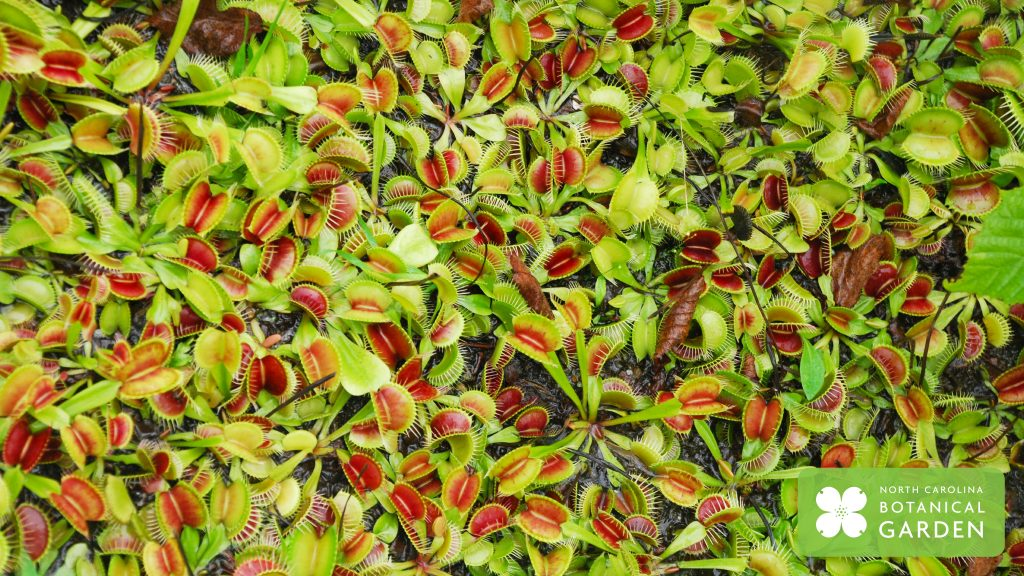 Venus flytrap desktop or Zoom background