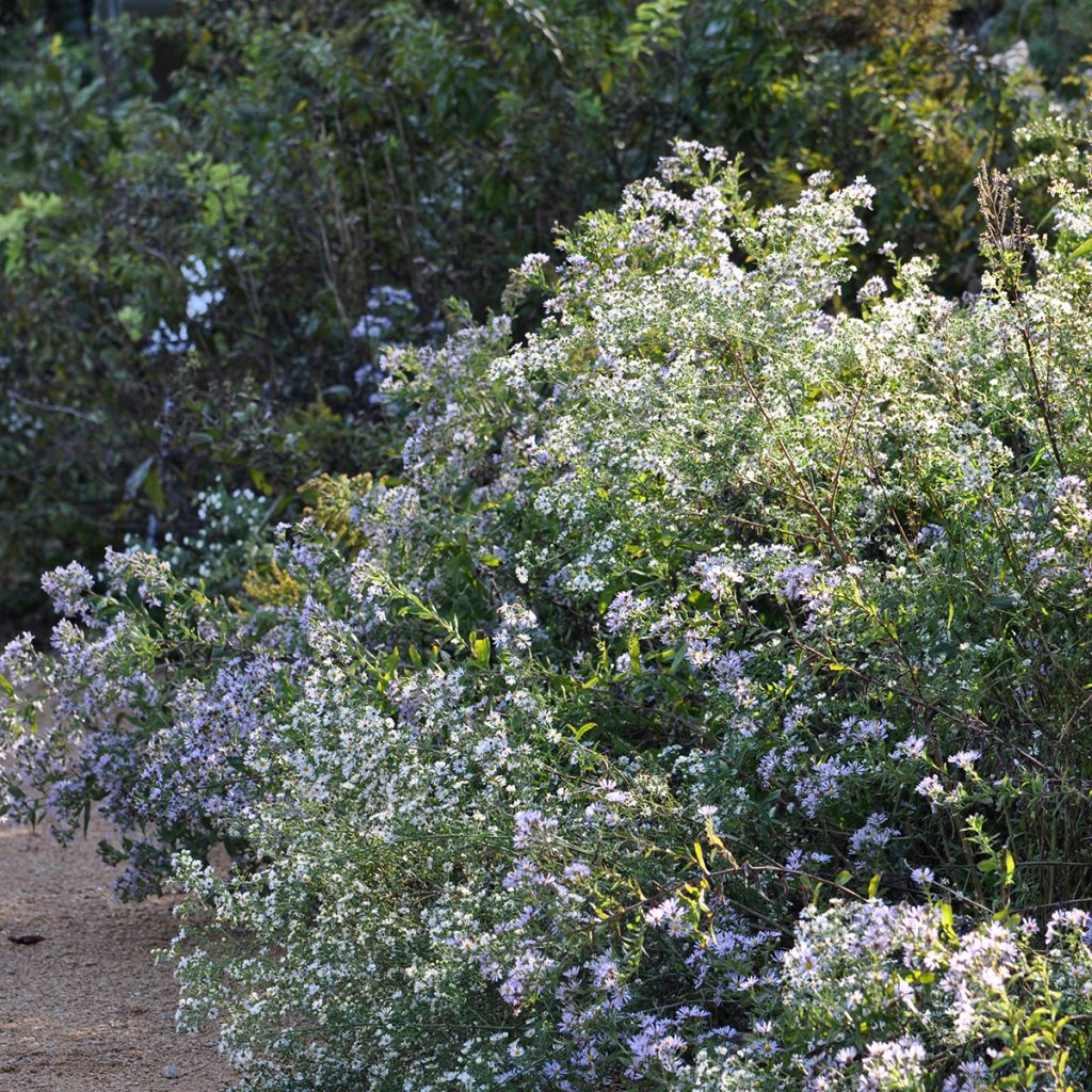 Frost asters in autumn. Cutting back vigorous perennials now will make for a tidier look in fall.