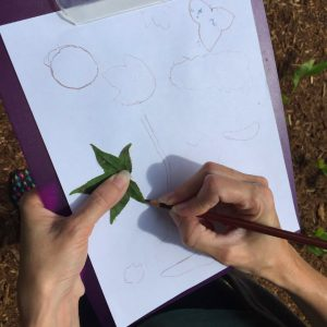 Tracing a sweetgum leaf on a piece of white paper