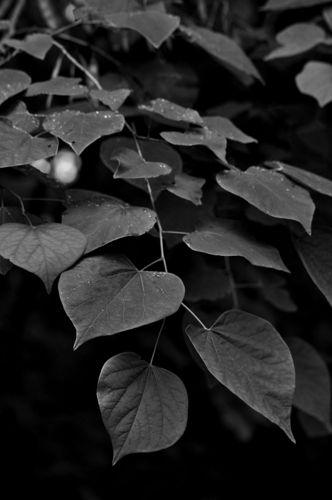black and white image of redbud