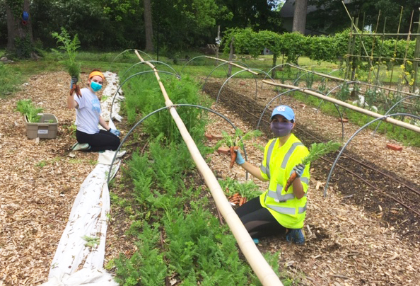 Volunteers from the Carolina COVID-19 Student Services Corps harvest carrots at the Carolina Community Garden while wearing face masks during the COVID-19 pandemic.