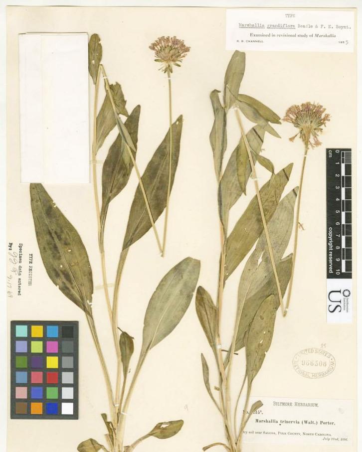 Photo of an herbarium specimen of the now extinct Appalachian Barbara's buttons (Marshallia grandiflora).