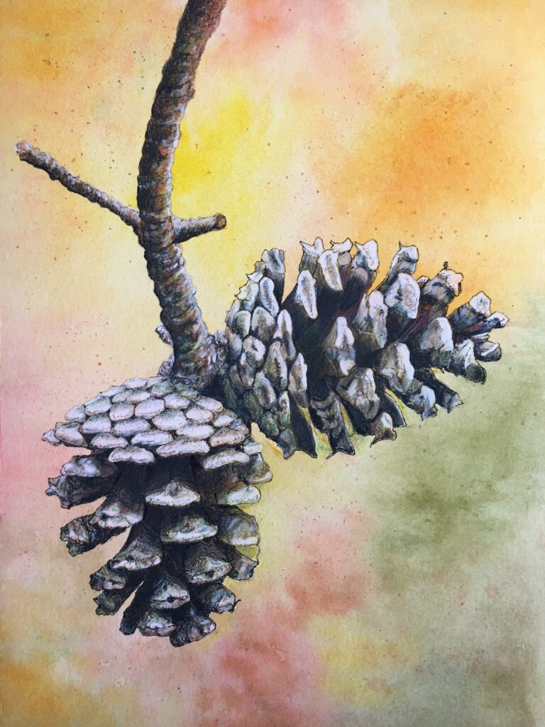 A pinecone illustration by Judy Lutter.