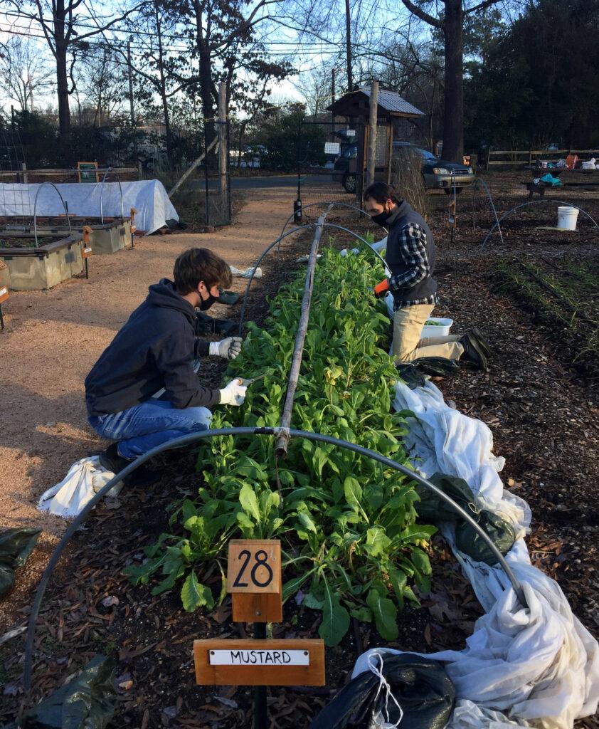 Two volunteers kneel around a bed of mustard greens in the Carolina Community Garden.