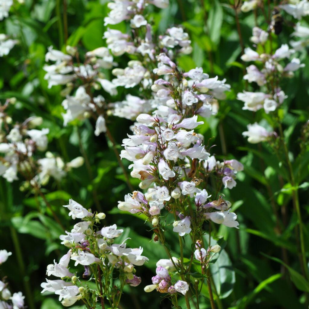 Foxglove beardtongue flowers
