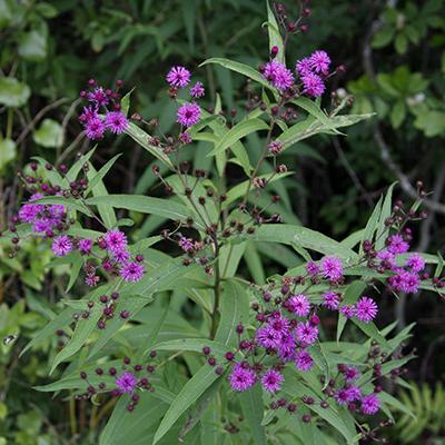 Bright magenta flowers of New York ironweed.