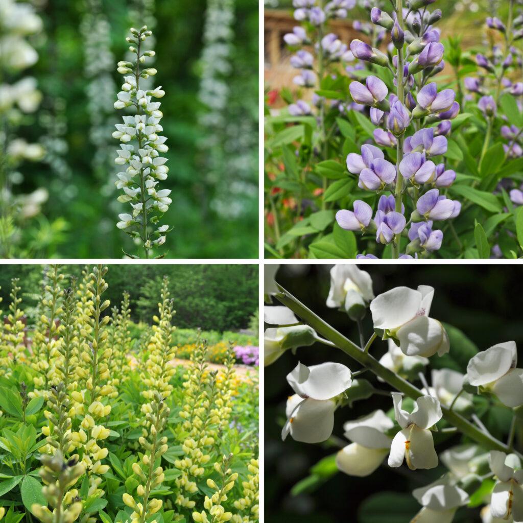 Four different wild indigo species in bloom - white, purple, and yellow.