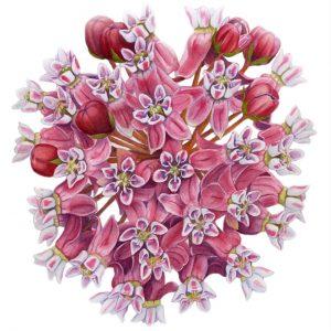 Botanical artwork of common milkweed in bloom by Claire Alderks Miller