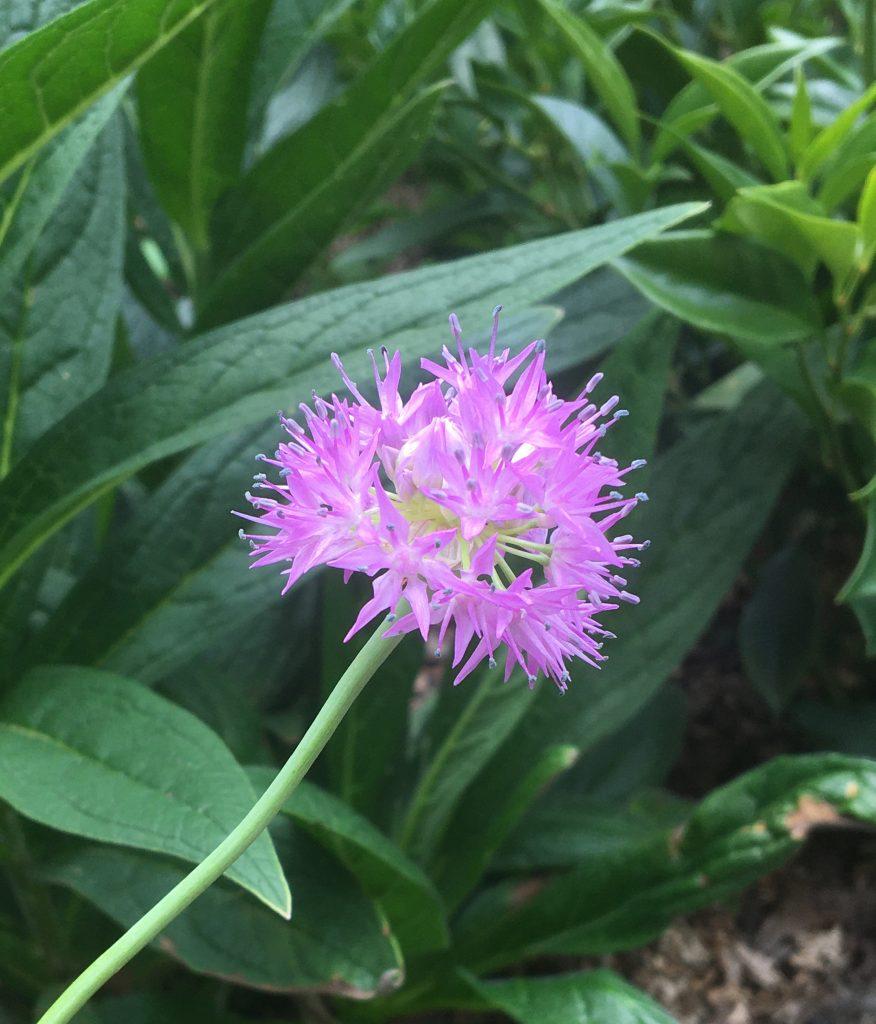 Allium carolinianum flower