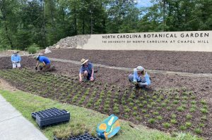 Garden staff kneel in the beds in front of the sign wall, planting seedlings of native sedges.