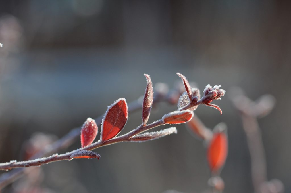 Frost on leaves of red plant