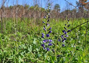 Glade blue wild indigo in bloom, with purple flowers against a wash of green vegetation