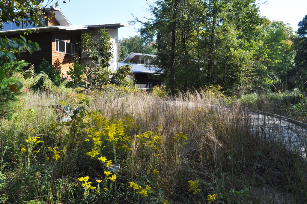 Goldenrods and bluestem grasses in the late afternoon sun. Our Allen Education Center buildings are in the background.